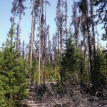 Mountain Pine Beetle Dead Trees