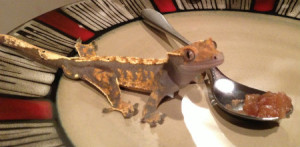 Crestie Your Happy Gecko